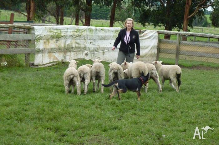 Herding Dog Training
