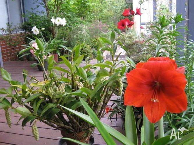 Hippeastrum 'Basuto' 4 flower stems, in ceramic 23 cm