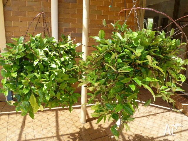 Hoya Plants For Sale In Modbury South Australia Classified