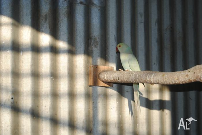 Ringneck Parrot For Sale uk Indian Ringneck Parrot Sky Blue Females Dna Sexed With Cert For Sale in