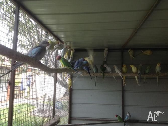 indian ringrecks, plum heads, blue princess parrots