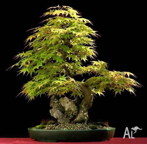 Jac rare plants -- japanese maple acer palmatum plants