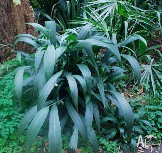 Jac rare plants -- settaria palmifolia -- buddha grass