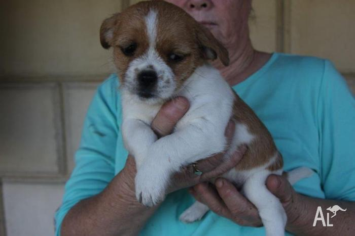 Jack Russell X Shitzu Puppies