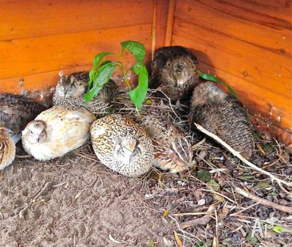 Japanese Quail Breeding Flocks