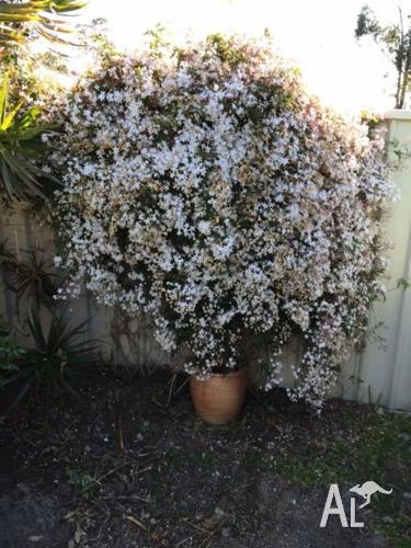 Jasmine - full flower