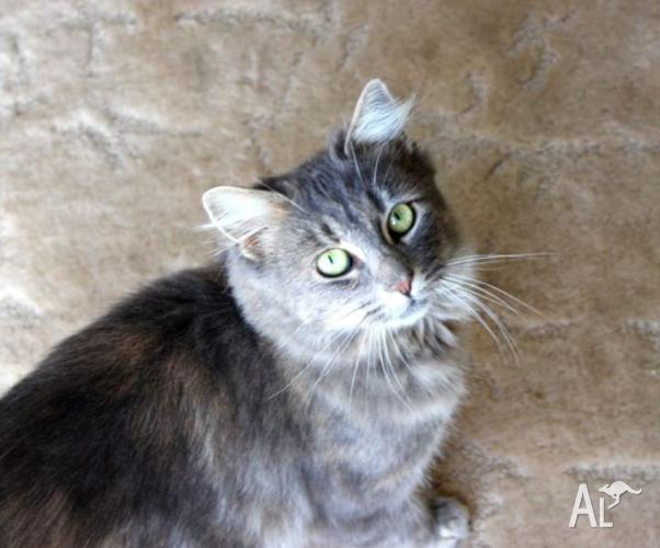 Julia VETWORK INCLUDED Rescue kitten TO Adopt Maine Coon X