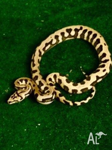 Jungle Jag Pythons