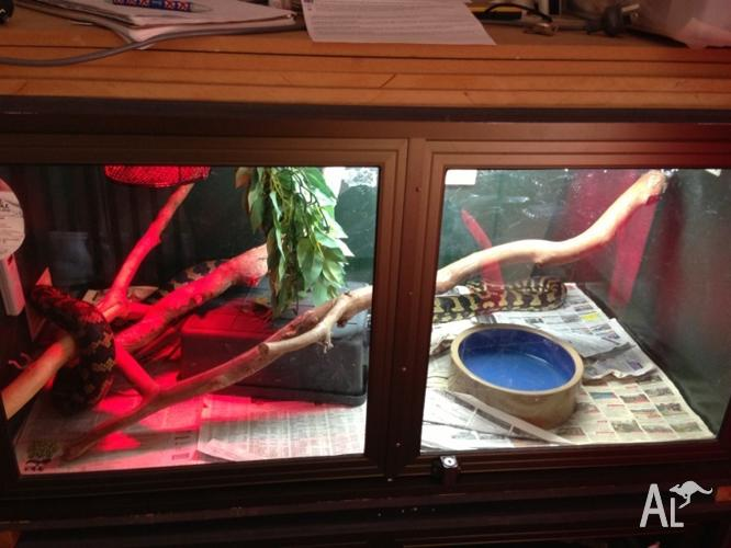 Jungle python and enclosure