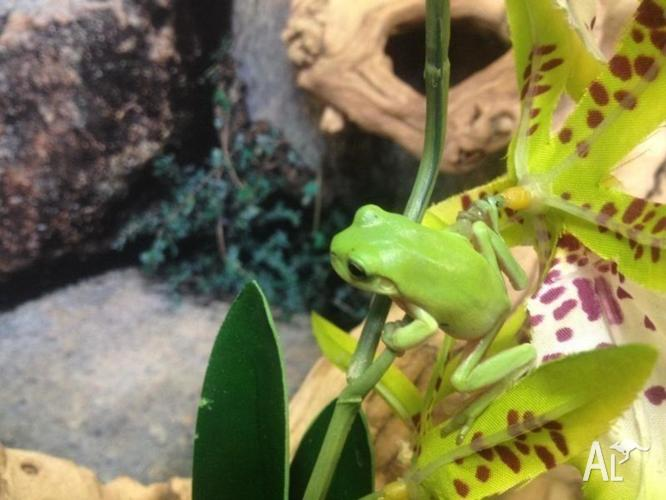 Juvenile Green Tree Frogs