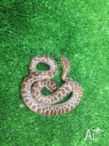 Juvenile Spotted Python
