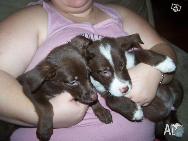 Dogs For Sale From Pound Caboolture