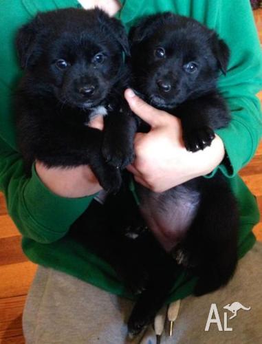 Kelpie x Maremma Puppies