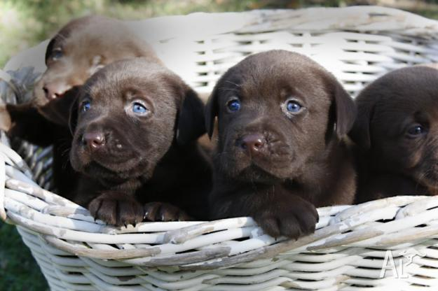 Grey lab puppies with blue eyes