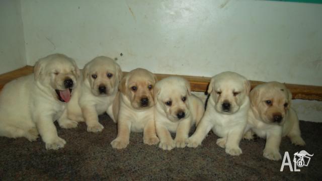 Labrador breeders south wales