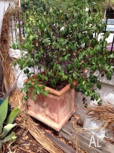 LARGE POT PLANT/CREEPER