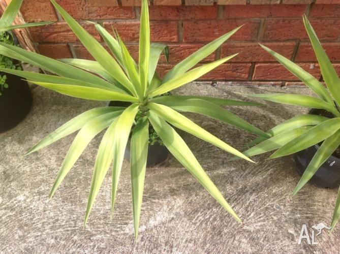 Large yucca plants in pot set for ( 3 )