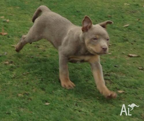 kelpie for sale in Tasmania Classifieds & Buy and Sell in