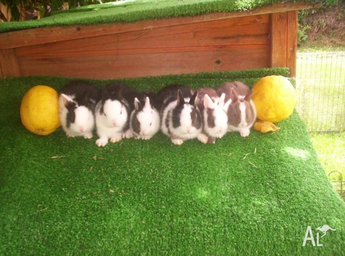 Last Very Cute Purebred Baby Netherland Dwarf Rabbit