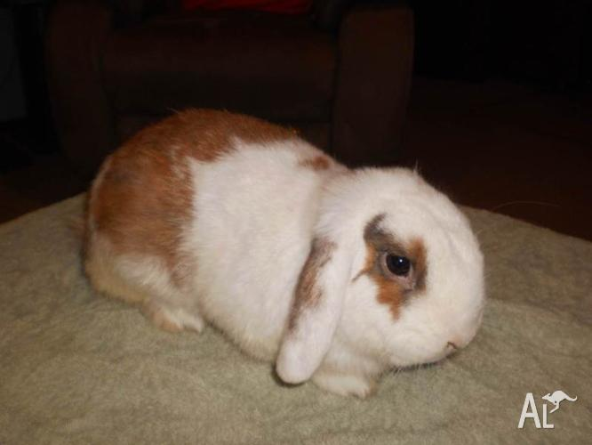 Lop Ear Rabbit