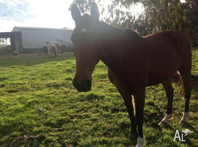 Lovely standardbred mare Free to good home