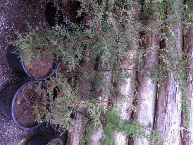 Macrocarpa saplings ready to transplant $15 each