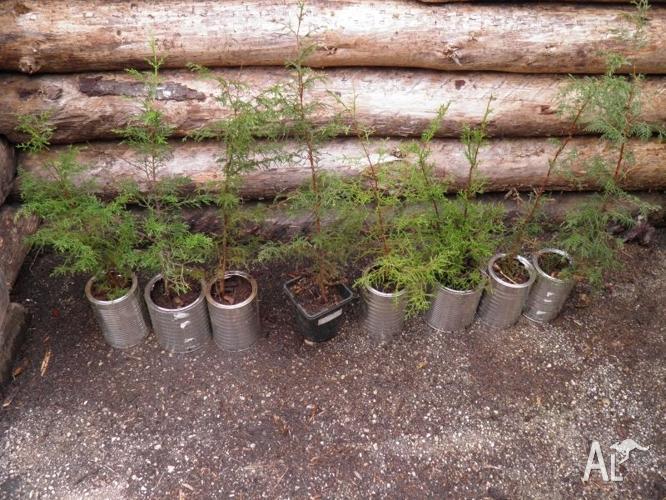 Macrocarpa seedlings $12 each