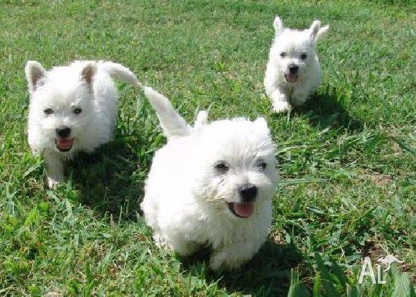 West Highland White Terrier Breeders Qld male and female westie...