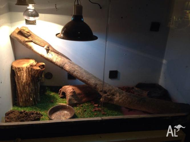 Male bearded dragon & enclosure