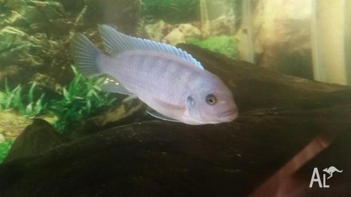 Male Cobalt Blue Zebra