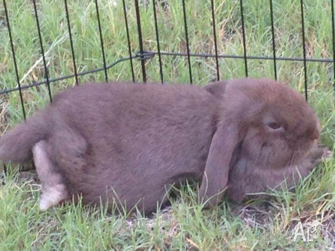 Male Dwarf Lop Bunny