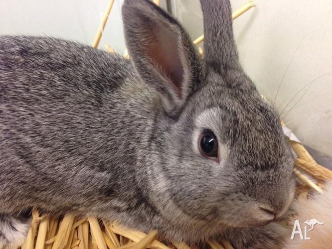 Male Mini Lop X rabbit