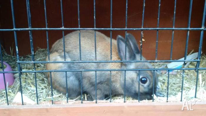 Male rabbit with hutch for sale