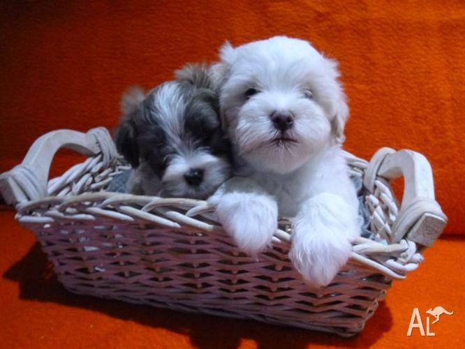Maltese Cross Shih Tzu Puppies For Sale For Sale In Auburn Victoria