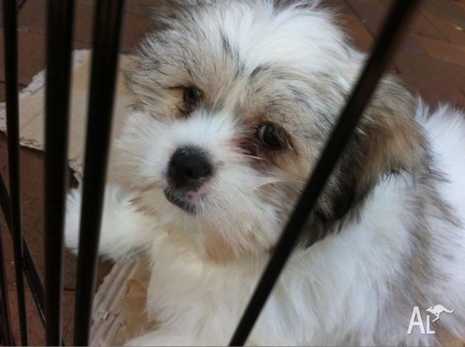 Maltese Cross Shih Tzu Puppy For Quick Sale For Sale In Dundas New