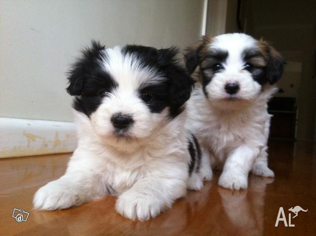 Maltese Papillon Puppies for Sale