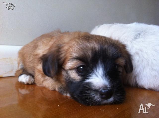 Dogs For Sale Adoption In Melbourne Area Australia