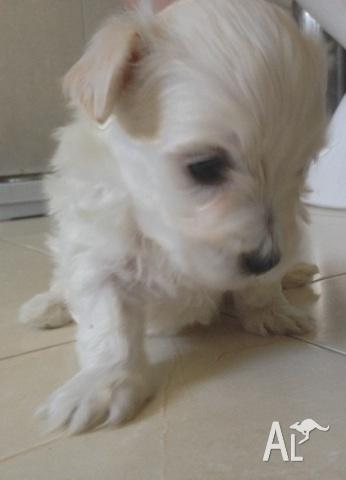 maltese x shitzu puppies { Ready to go on 16 October }