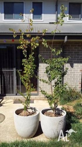 Manchurian Pear Tree saplings