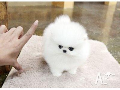 Marble White Teacup Size Pomeranian Puppies Ready For Sale