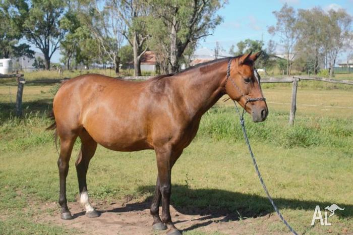 Mare 8 years old Warm blood 15hands