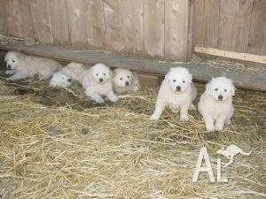 Maremma Sheepdog Puppies for sale for Sale in BALLARAT, Victoria