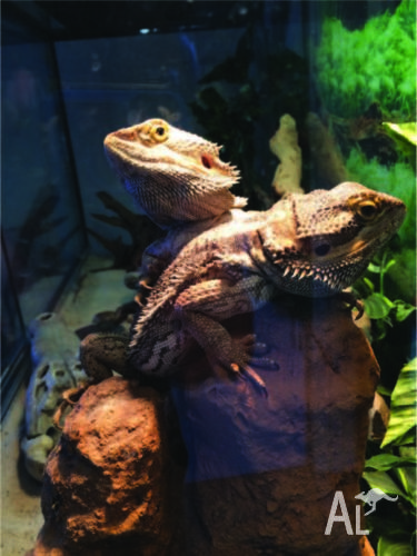 Mating Pair Of Central Bearded Dragons For Sale Complete