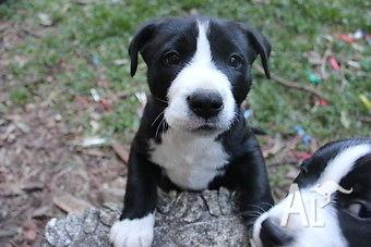 border collie terrier mix puppies wwwpixsharkcom