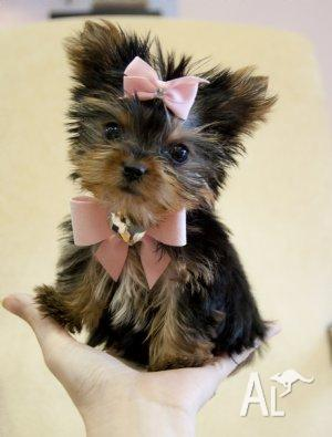 Yorkshire terrier puppies for sale qld