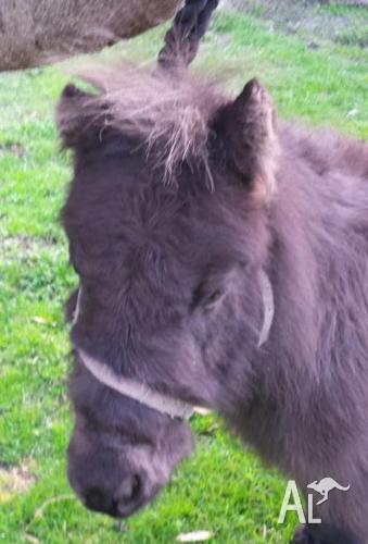 Minature Pony Mare