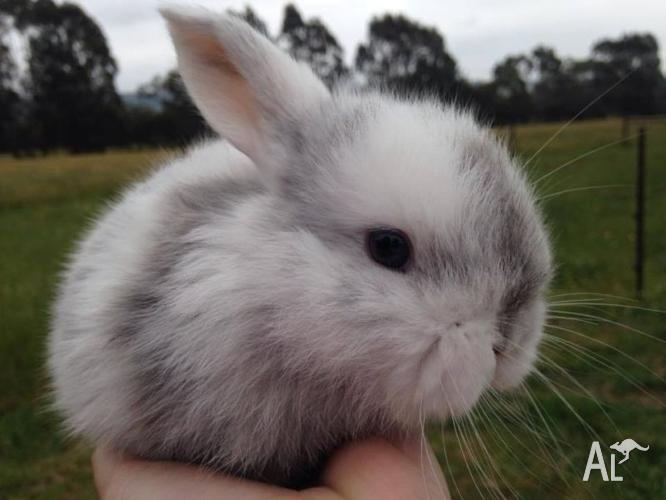 Mini-lop baby rabbits for sale