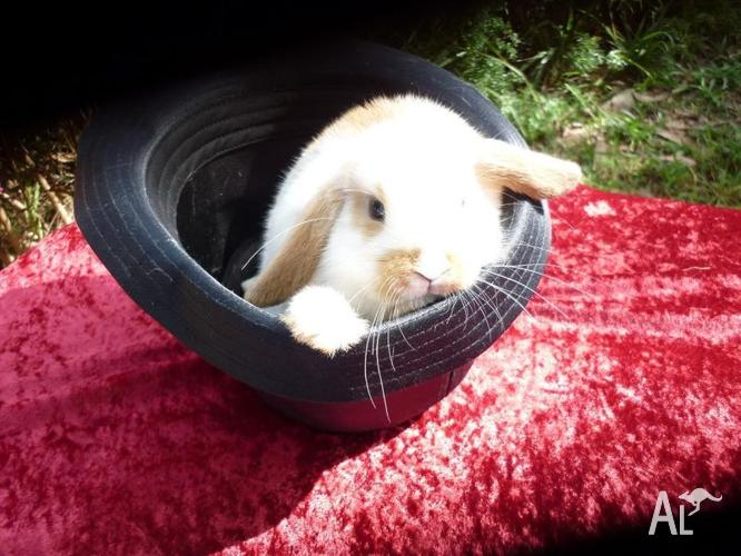 Mini Lop BOY 4 sale call me HOP /Get me out of this hat