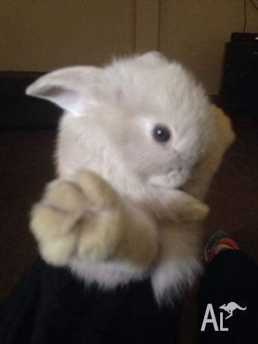 Mini lop bunnies 4 left