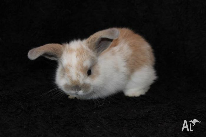 Mini Lop Kits- Adorable Easter Bunnies!